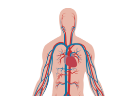 Many of the terms we use when we talk about nutrition and health have to do with protecting the circulatory system.